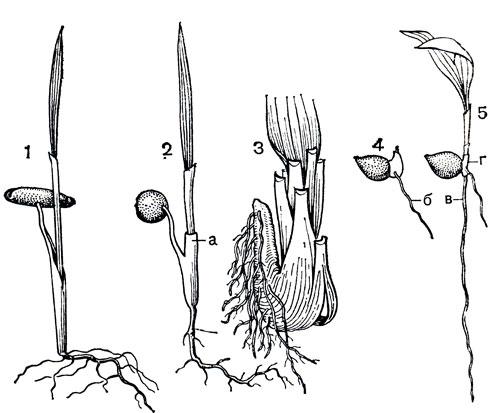 финиковые семена
